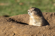 Black-Tailed Prairie Dog (Cynomys Ludovicianus) In Its Burrow, Copy Space