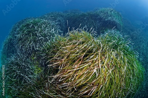 Neptune Grass (Posidonia oceanica), Mediterranean Sea, Southern Cyprus, Cyprus, Europe