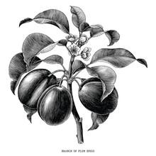 Branch Of Plum Botanical Vinta...