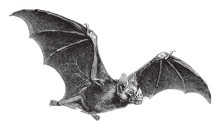 Vampire-Bat (Vampirus Spectrum...