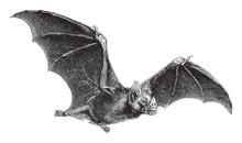 Vampire-Bat (Vampirus Spectrum) / Vintage Illustration From Meyers Konversations-Lexikon 1897