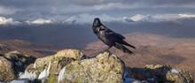 Shinny Corvidae Corvus On Peak Of Summit Of Stob Dearg, Buachaille Etive Mòr, Scotland Highlands With Snow In The Background