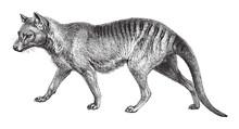 Tasmanian Wolf (Thylacinus Cyn...