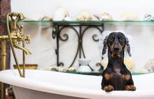 A Cute Little Dog Dachshund, B...