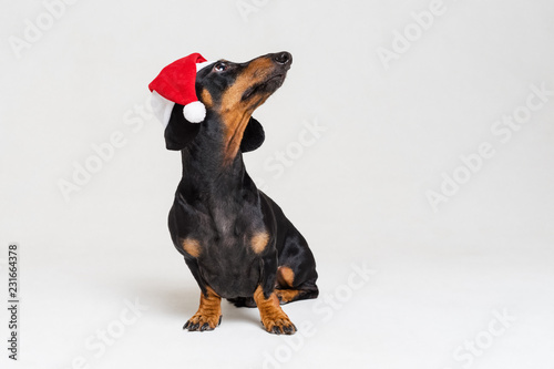 Keuken foto achterwand Crazy dog Dachshund breed dog, black and tan, wearing in red Christmas Santa Claus hat isolated on a gray background