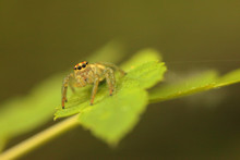 Shaanxi Qinling Jumping Spiders