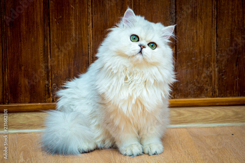 Fotografía  Fluffy long-haired British cat of silver color with green eyes sits and looks at