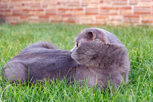 Fotografía  british shorthair cat