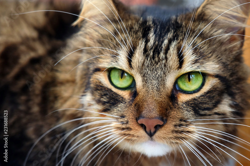 Fototapeta Close up portrait of long haired brown tabby cat with green eyes