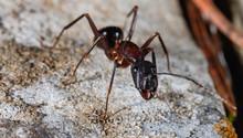 Carpenter Ant Close Up