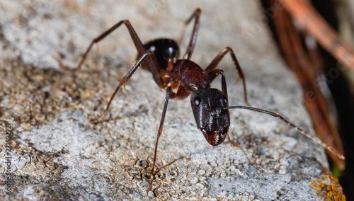 Carpenter ant close up Canvas Print