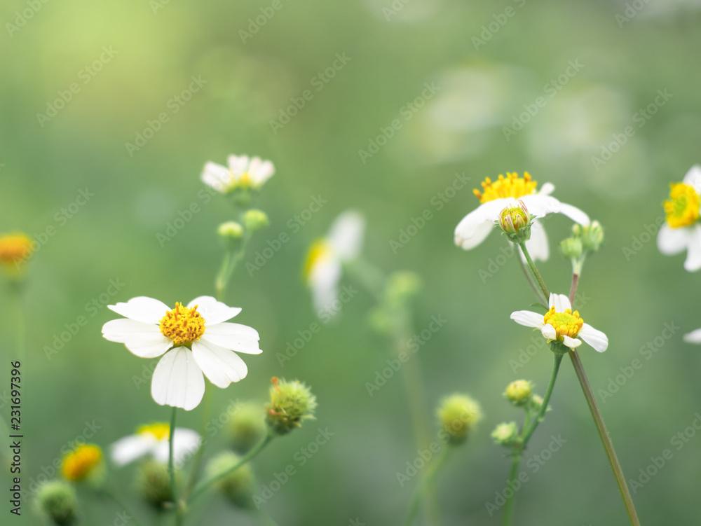 Fototapeta Biden alba flower in the green garden.