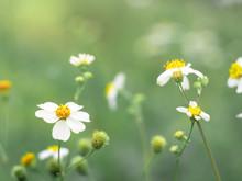 Biden Alba Flower In The Green Garden.