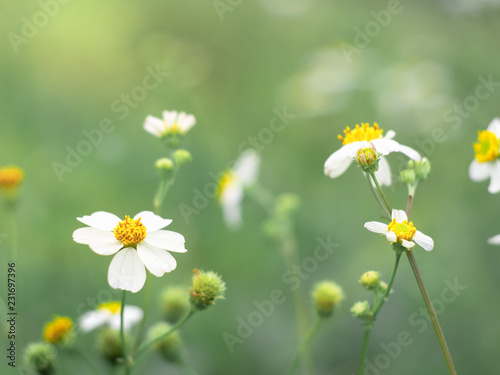 Photo sur Aluminium Marguerites Biden alba flower in the green garden.