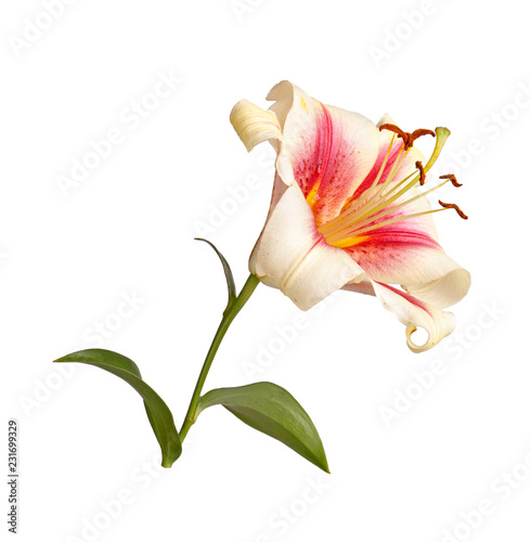 Single flower of a red and white lily culivar isolated