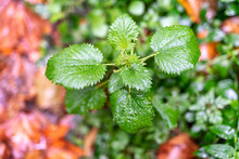 Nettle Leaves With Blurred Background. Fall Concept