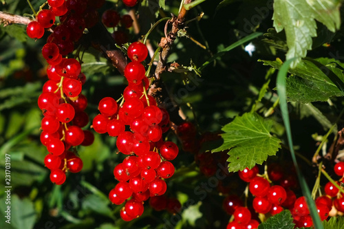 Foto  Red currant bushes with ripe berries outdoor.