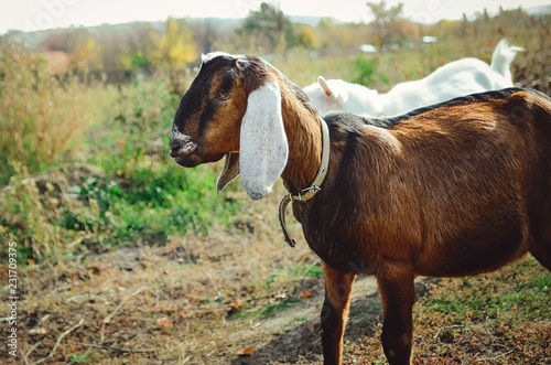 Beautiful Anglo-Nubian goat with large white ears.