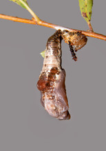 Freshly Pupated Viceroy Butterfly Caterpillar In Its Chrysalis, With Its Old Exuviae Next To It On The Willow Twig