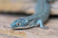 Closeup Of An Alligator Lizard...