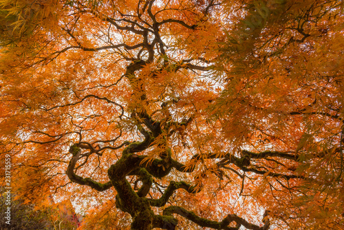 Autumn Japanese Maple Tree © Nicholas Steven