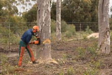 Lumberjack With Chainsaw Cutting Tree Trunk
