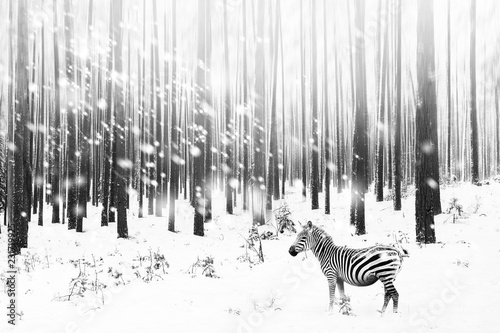 Zebra in a snowy forest. Fantastic fabulous image. Winter dreamland. Сonceptual striped monochrome image. Wallpaper.