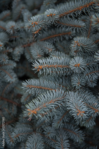 Background texture of fir tree branches for a christmas design
