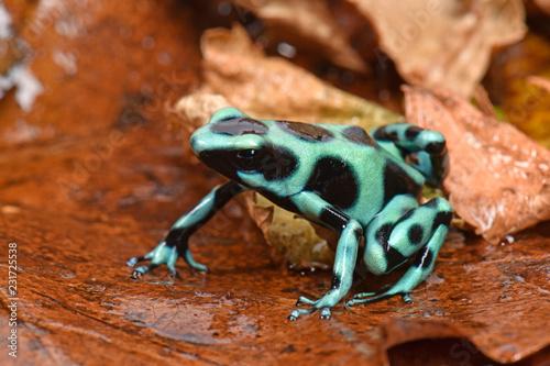 Goldbaumsteiger aus Costa Rica (Dendrobates auratus) Cahuita / Green and black poison dart frog