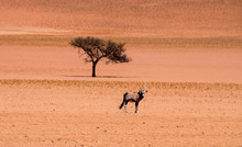 Lone Oryx And One Camelthorn Tree