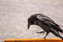 Raven On A Bench
