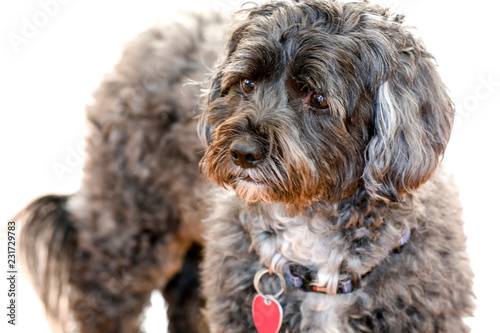 Photo  Photograph of a black and Shih Poo dog