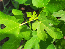 Green Fig Leaves In Morning Su...