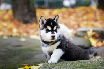 Fototapeta Husky puppy in a park in autumn