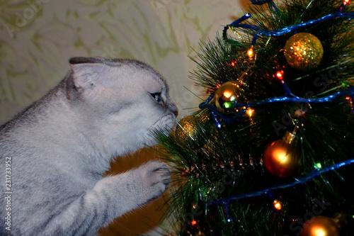 Fotografía  British tabby shorthair cat decorates Christmas tree