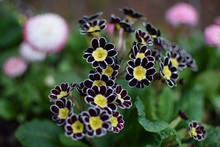 """Primula Elatior """"Gold Lace"""" - Victorian Gold Lace Black. Close Up Of Back And Yellow Flowers."""