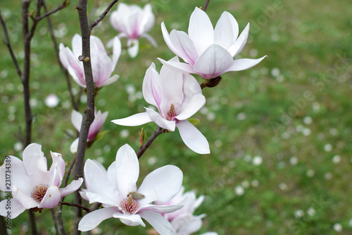 Magnolia flowers closeup.