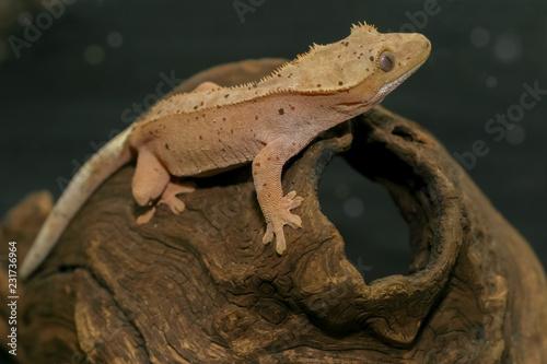 Crested gecko (scientific name: Correlophus ciliates