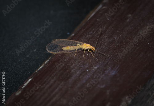 owad złotook (Chrysopidae) z przezroczystymi skrzydłami o złotymi oczami - 231737900