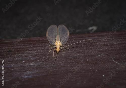 owad złotook (Chrysopidae) z przezroczystymi skrzydłami o złotymi oczami - 231737922