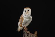 Barn Owl - Studio Captured Por...