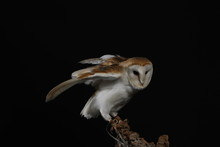 Barn Owl - Studio Captured Por...