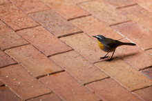 Robin On The Pavement