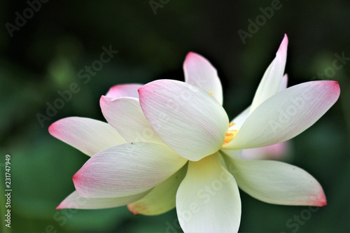 Sacred Lotus National Flower Of India And Vietnam Symbol Of Purity