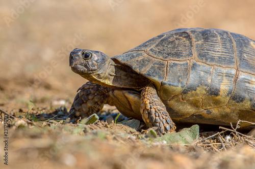Marginated tortoise close up