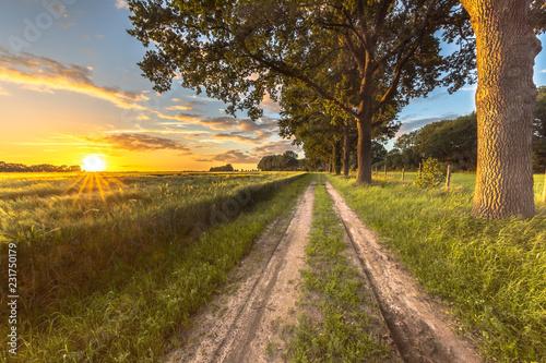 Foto op Plexiglas Platteland Wheat field along old oak track