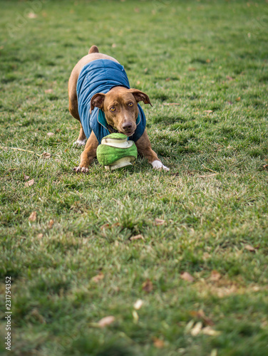 Photo  Goofy puppy wearing a coat wants to play with a ball