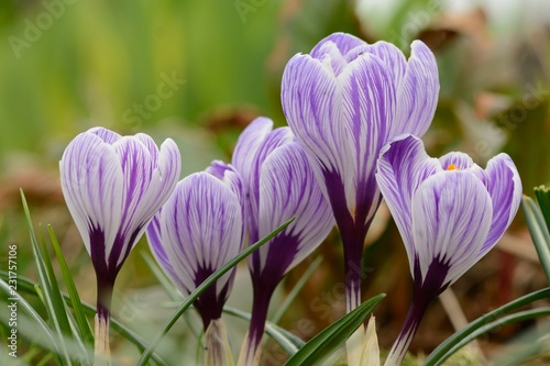 Foto op Canvas Krokussen Purple and white crocuses