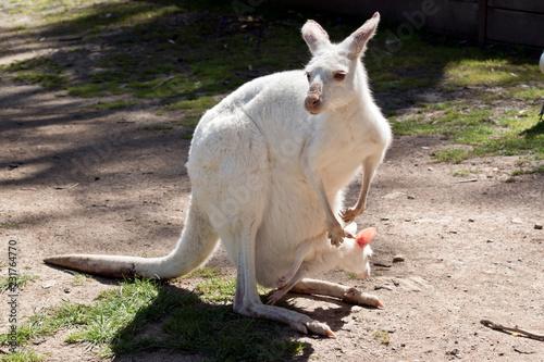 Fotografie, Obraz  albino Western grey kangaroo with joey in her pouch