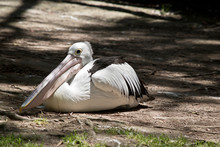 Australian Pelican Resting In The Shade